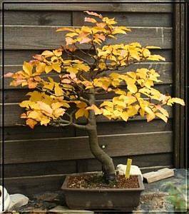 rotbuche bonsai arboretum kusamono und ikebana. Black Bedroom Furniture Sets. Home Design Ideas